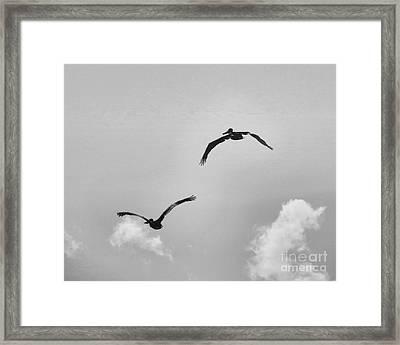 Pelicans In Flight IIi Framed Print by Scott Cameron