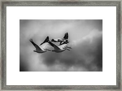 Pelicans In Flight Framed Print by Thomas Young