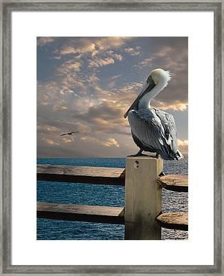 Pelicans Of Tampa Bay Framed Print by Matthew Schwartz