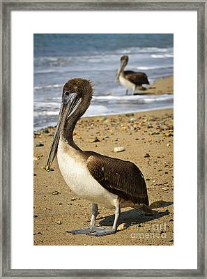 Pelicans On Beach In Mexico Framed Print by Elena Elisseeva