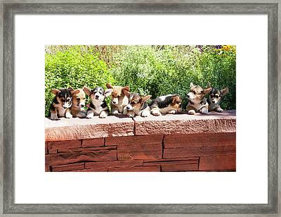 Pembroke Welsh Corgi Puppies Lined Framed Print by Piperanne Worcester