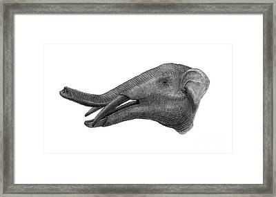 Pencil Drawing Of Gomphotherium Framed Print by Vladimir Nikolov