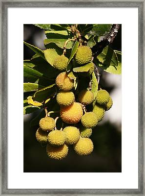 Pending Bunch Framed Print by Ivete Basso Photography