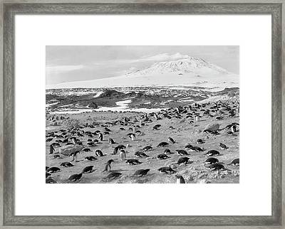 Penguin Colony In Antarctica Framed Print by Scott Polar Research Institute