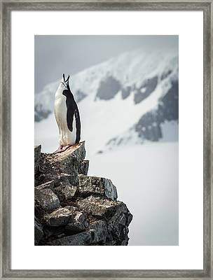 Penguin Cry - Antarctica Penguin Photograph Framed Print by Duane Miller