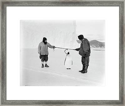 Penguin Research In Antarctica Framed Print by Scott Polar Research Institute