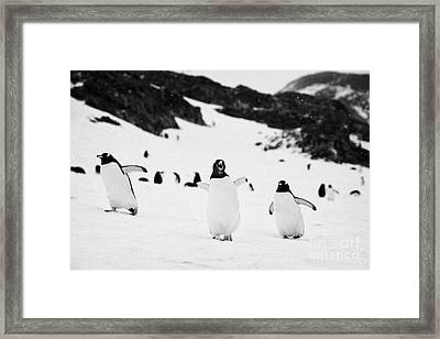 Penguin With Wings Outstretched Calling In Gentoo Penguin Colony On Cuverville Island Antarctica Framed Print by Joe Fox