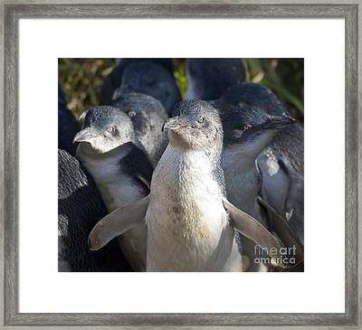 Penguins Framed Print by Steven Ralser