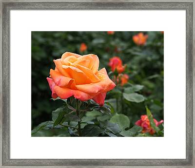 Pensioners Voice Roses Framed Print by Rona Black