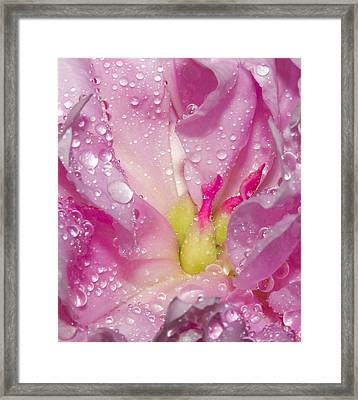 Peony 5 Framed Print by David Lester