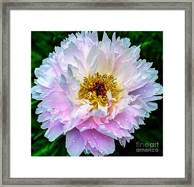Peony Flower Framed Print by Edward Fielding