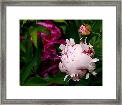 Peony Life Framed Print by Rona Black