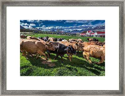 People Watch As A Dairy Cows Are Set Framed Print by Panoramic Images