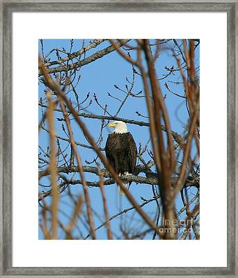 Perched American Bald Eagle  Framed Print by Neal  Eslinger