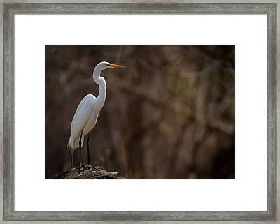 Perched Great Egret Framed Print by Chris Hurst