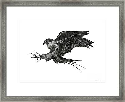 Peregrine Hawk Or Falcon Black And White With Pen And Ink Drawing Framed Print by Mario Perez