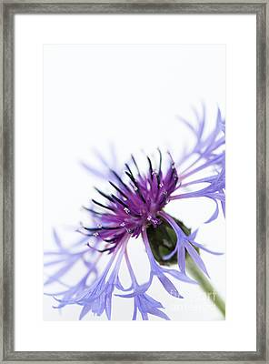 Perennial Cornflower Framed Print by Anne Gilbert