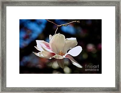 Perfect Bloom Magnolia Framed Print by Frank J Casella