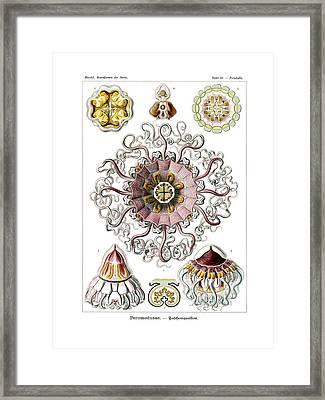 Peromedusae Framed Print by Ernst Haeckel