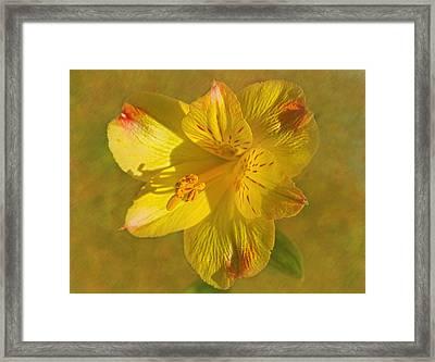 Peruvian Lily Framed Print by Sandi OReilly