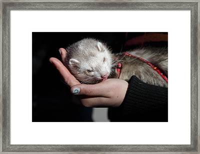 Pet Ferret Licking A Hand Framed Print by Intensivelight