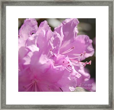 Petal Pink By Jrr Framed Print by First Star Art