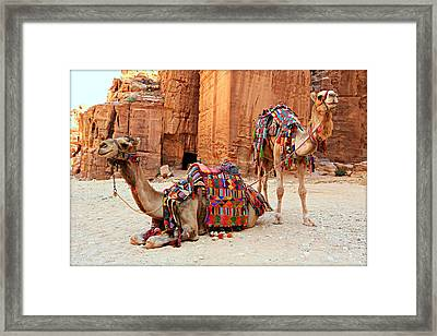 Petra Camels Framed Print by Stephen Stookey