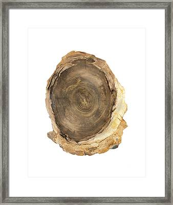 Petrified Douglas Fir Tree Trunk Section Framed Print by Science Stock Photography
