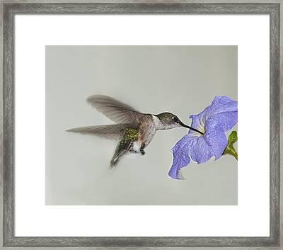 Petunia Delight Framed Print by Lara Ellis