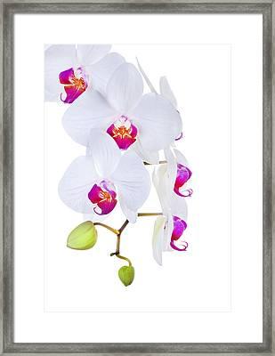 Phalaenopsis Orchids Against White Background Framed Print by Robert Jensen