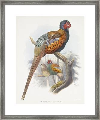 Phasianus Elegans Elegant Pheasant Framed Print by Daniel Girard Elliot