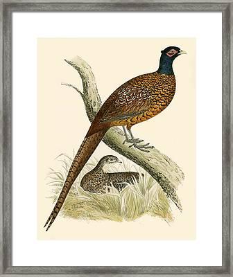 Pheasant Framed Print by Beverley R Morris