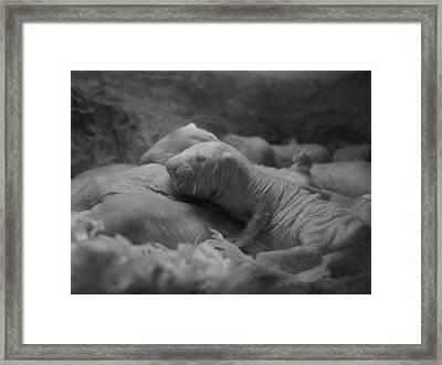 Philadelphia Zoo - Naked Mole Rat Framed Print by Richard Reeve