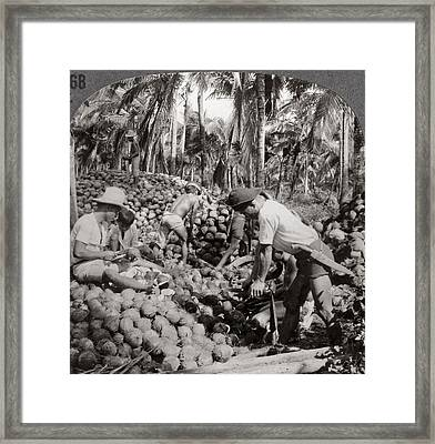 Philippines Coconuts Framed Print by Granger