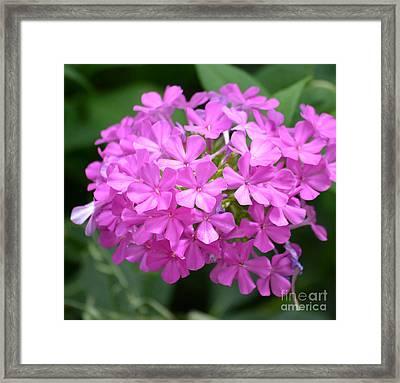 Phlox Flowers  Framed Print by Ruth  Housley