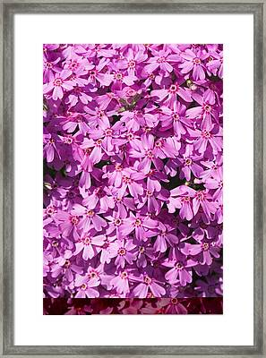 Phlox Subulata 'marjorie' Framed Print by Science Photo Library