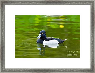 Photorealistic Crested Duck Framed Print by Scott Laffin