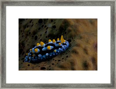 Phyllidia Coelestis Nudibranch, Beqa Framed Print by Terry Moore