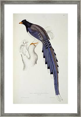 Pica Erythrorhyncha, From A Century Of Birds From The Himalaya Mountains Framed Print by Elizabeth Gould