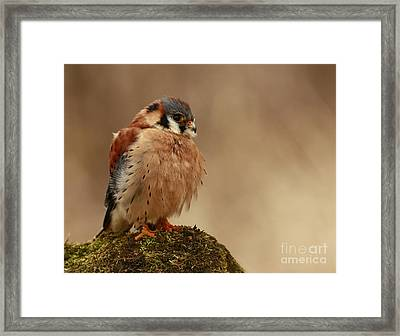 Picture Perfect American Kestrel  Framed Print by Inspired Nature Photography Fine Art Photography