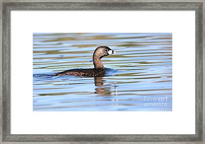 Pied-billed Grebe Framed Print by Ruth Jolly