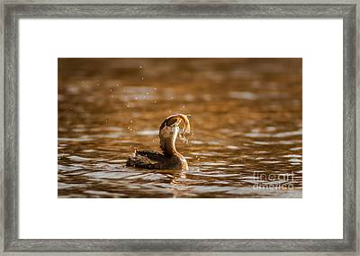 Pied-billed Grebe With Brim Framed Print by Robert Frederick