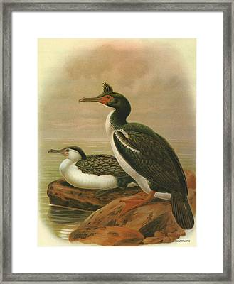 Pied Shag And Chatham Island Shag Framed Print by J G Keulemans