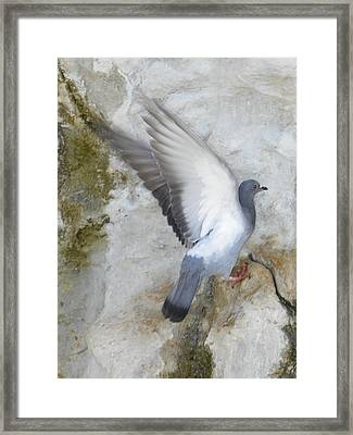 Pigeon Spreading Wings For Takeoff Framed Print by Noreen HaCohen