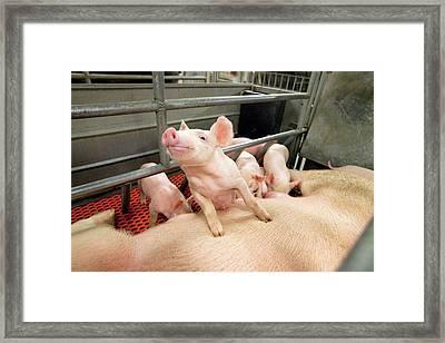Piglets Suckling Framed Print by Stephen Ausmus/us Department Of Agriculture