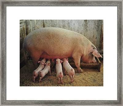 Momma Pig And Piglets Framed Print by Terry DeLuco