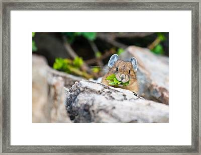 Pika Framed Print by Ian Stotesbury