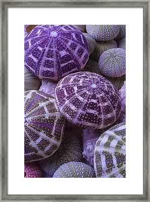 Pile Of Sea Urchins Framed Print by Garry Gay