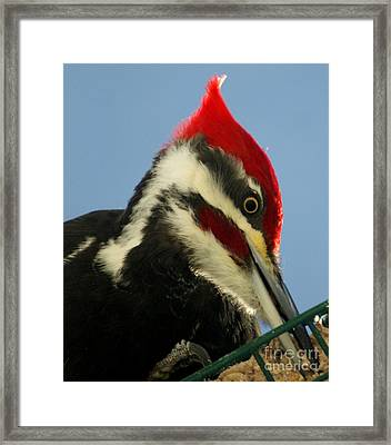 Pileated Male Woodpecker Framed Print by Gail Matthews