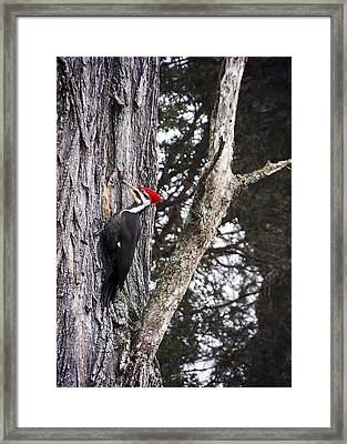 Pileated Woodpecker  Framed Print by Heather Applegate